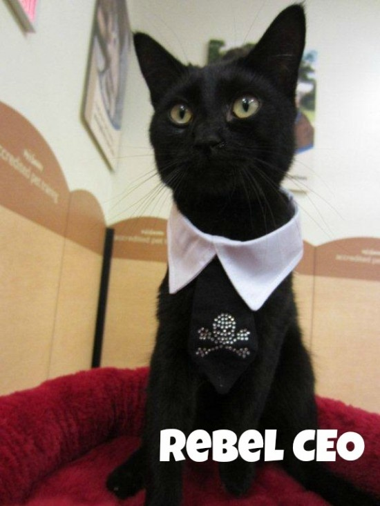 Jobs for Cats - Rebel CEO Cat
