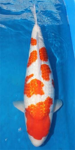 32 best kohaku koi images on pinterest kohaku koi carp for Artificial koi fish