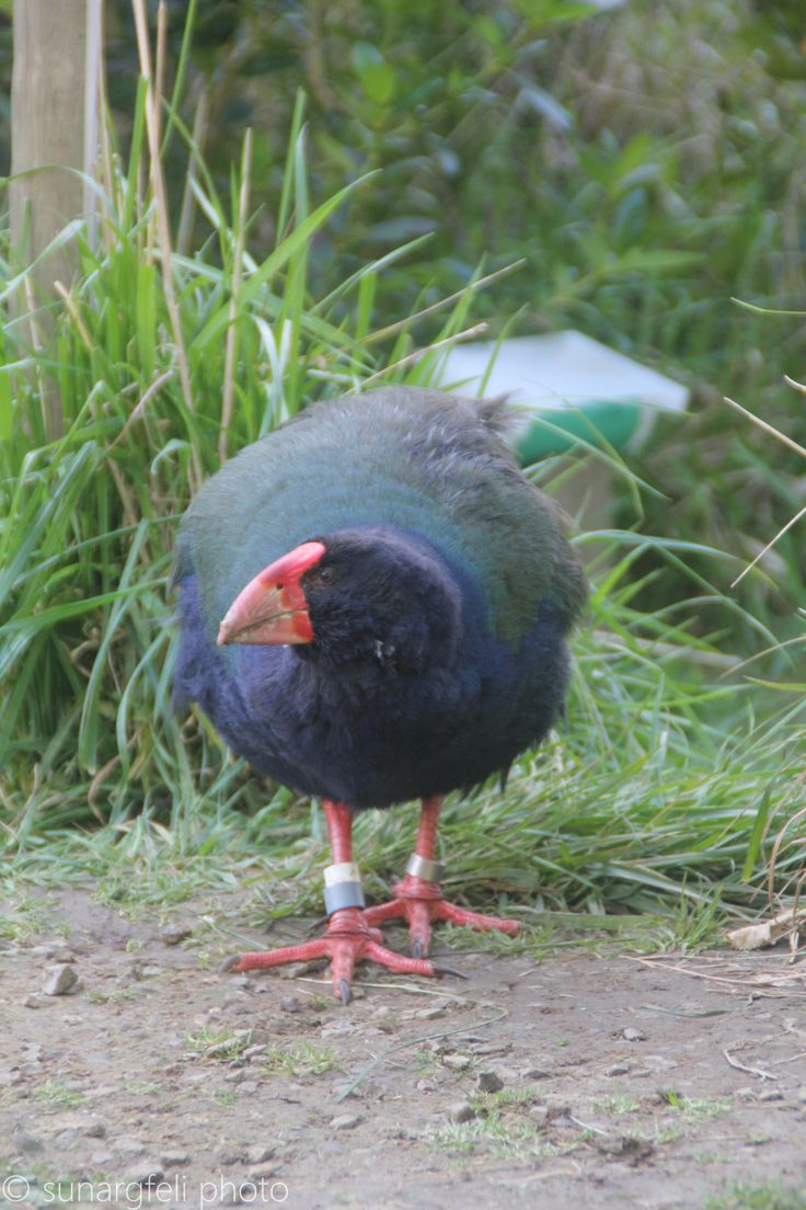 Takahe - another endemic bird of New Zealand