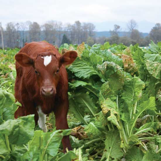 Cattle Grazing: Turnips and Other Rootcrops for Livestock - Animals - GRIT Magazine