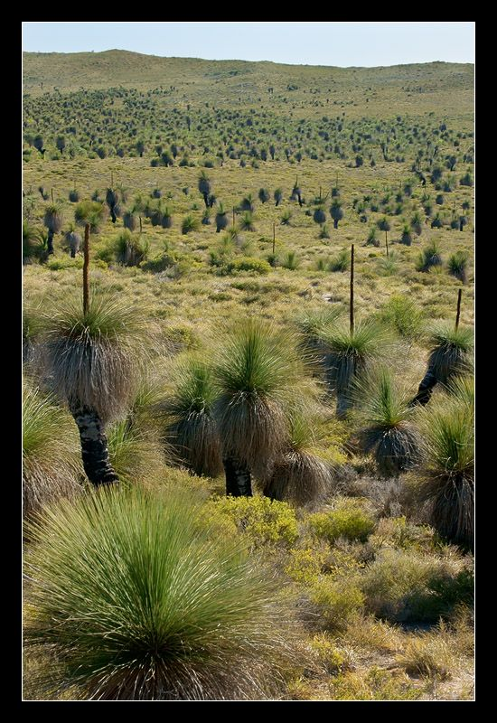 Blackboys in Western Australia - all you might see for miles -  more commonly called Grass trees, as the old name, black boys, is offensive to some.