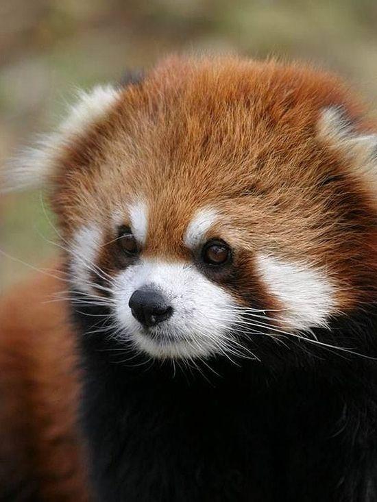 cute baby red pandas - photo #36