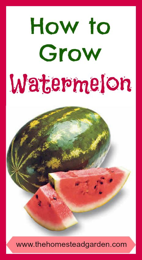 How to Grow Watermelon - with more links on how to grow other fruits and veggies. Lots of great info!