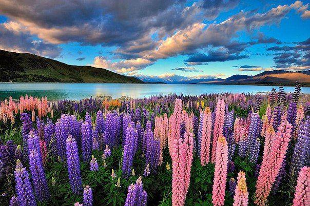 Люпины на озере Текапо, Новейшая Зеландия / Speleologov.Net - мир кейвинга