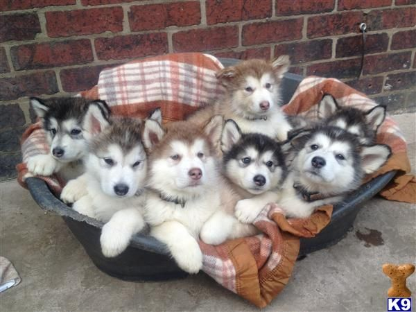 alaskan malamute puppies | Alaskan Malamute Puppies For Sale by K9 | All Puppies Pictures and ...