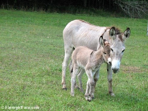 farm girlsBaby Donkeys, Wee Donkeys, Farmgirl Life, Animal Donkeys