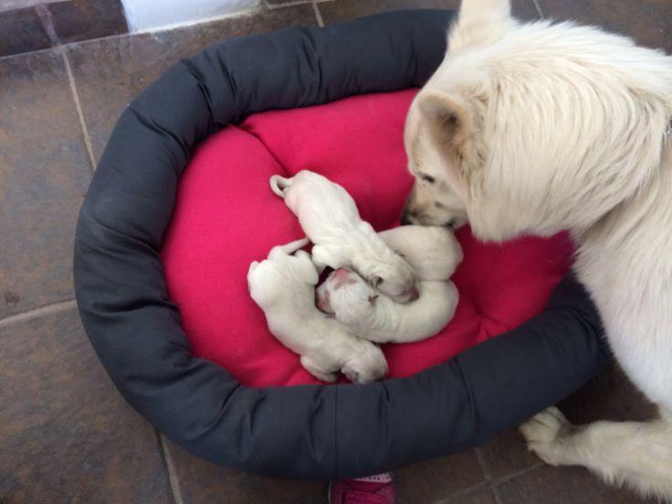 Pastor suizo blanco recién nacido $13,000 ambos padres con Pedigree internacional. Aparta tu cachorro !!!