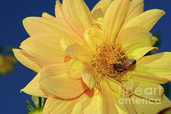 #Bee on pretty #Dahlia by #Kaye_Menner #Photography Quality Prints Cards Products at: http://kaye-menner.pixels.com/featured/bee-on-pretty-dahlia-by-kaye-menner-kaye-menner.html