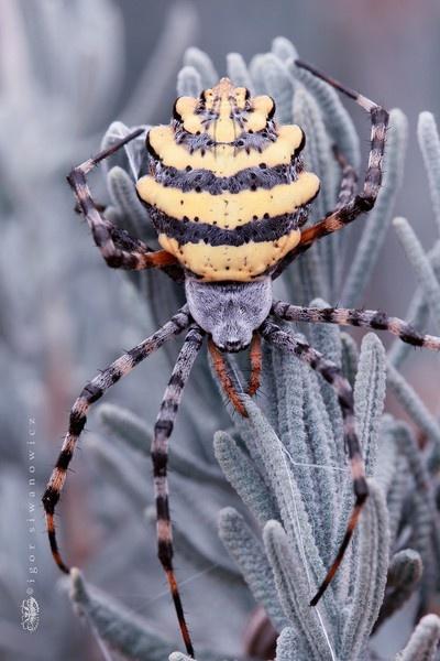 Aranha.