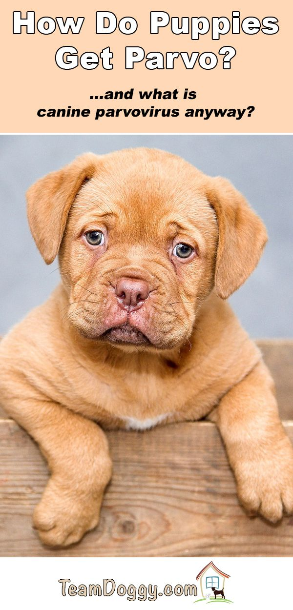 How Do Dogs Get Parvo? Is Your Puppy at Risk of CPV
