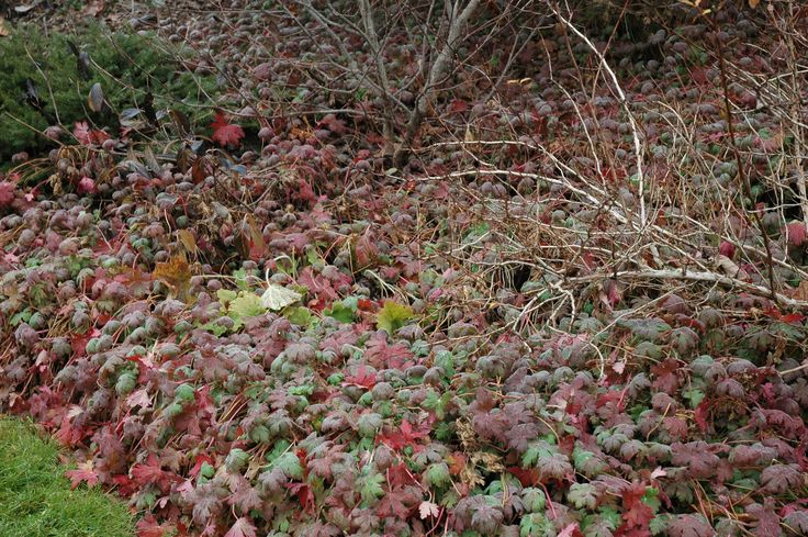 Geranium macrorrhizum 'Ingwersen's Variety' in winter