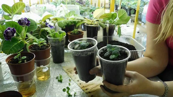 Гибискус из семян выращивание в домашних условиях