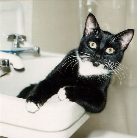 This cat looks just like our cat, Tux!Lounges Chairs, Tuxedos Cat, Funny Cat, Bathroom Sinks, New Years Eve, Cat Stuff, Kitty, True Stories, Animal