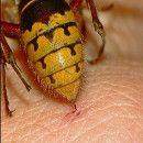 18 remedios caseros para la picadura de abejas y avispas ecoagricultor.com