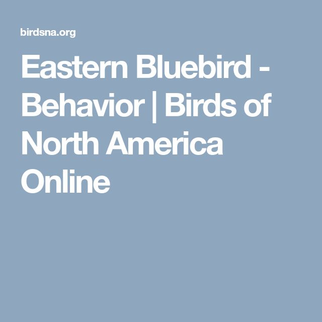 Eastern Bluebird - Behavior | Birds of North America Online