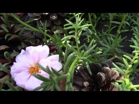Портулак.  Красивое и неприхотливое растение портулак крупноцветковый