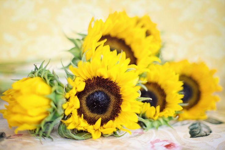 Slunečnice nejen pro olej