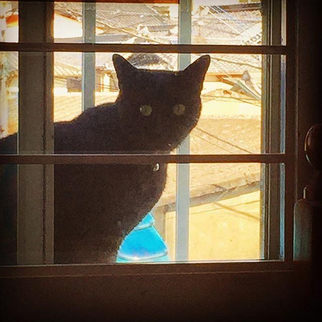 「部屋に入れてニャーー🐾」と窓の外から覗いちょりマス👀 ちなみに二階です。降りるとこを 見たことありますが、真っ逆さまに 壁をつたってした😱 見てるこっちが冷や汗かきそう💦 #黒猫#覗き見#壁づたい#冷や汗#愛猫#真っ逆さま#垂直#二階