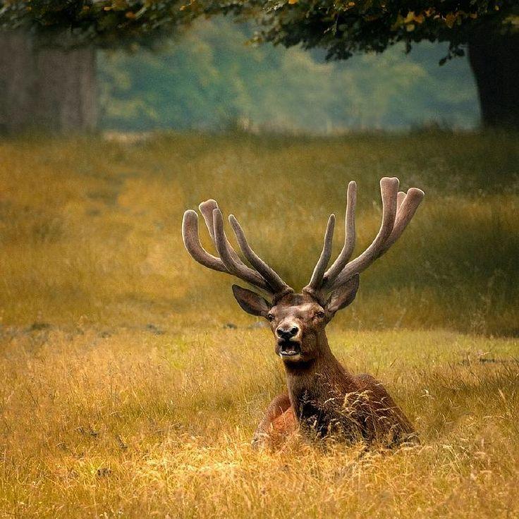 Bull Elk, Manitoba, Canada by Neilson Gunderson