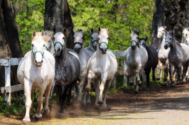 The famous Lipizzaner horses at the Lipizzaner stud in Slovenia Lipica, Slovenia © Marko5 / Shutterstock