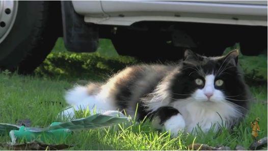 Красавица норвежская лесная кошка !