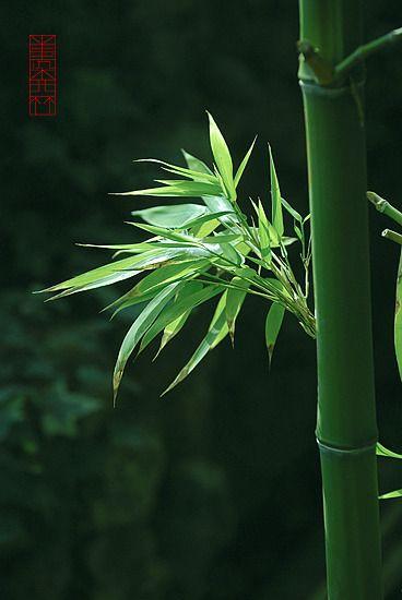 Bamboo: Beautiful Bamboo, Bamboo Canes, Bamboo Trees, Bamboo Forest, Bamboo Photographs, Awesome Leaves, Bamboo Dreams, Bamboo Beautiful But
