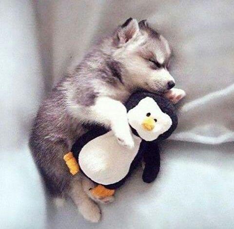 Dog sleeping with his penguin plushie