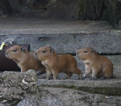capybaras are so neat