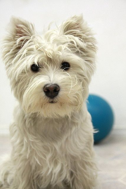 the-crown-queen:  How could anyone resist this cutie! I love Westies! <3