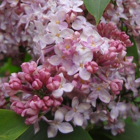 1000 images about lovely lilacs on pinterest. Black Bedroom Furniture Sets. Home Design Ideas