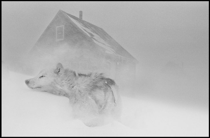 """""""Dog in the blizzard"""" by Ragnar Axelsson a.k.a. RAX, from the series Greenland, 2004. © Ragnar Axelsson. Used with permission."""