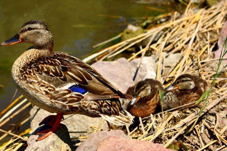 Ducks of Lake Balaton