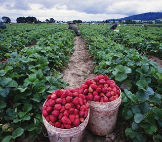 strawberries and poisoning our land and water even more !! when will monsanto be stopped !