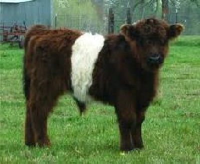 Miniature+Cattle+Breeds+Miniature+Belted+Galloway