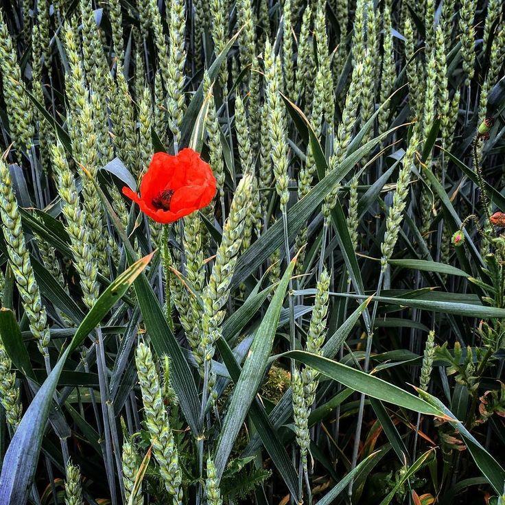 Vlčí opium... #poppies #opium #homeland