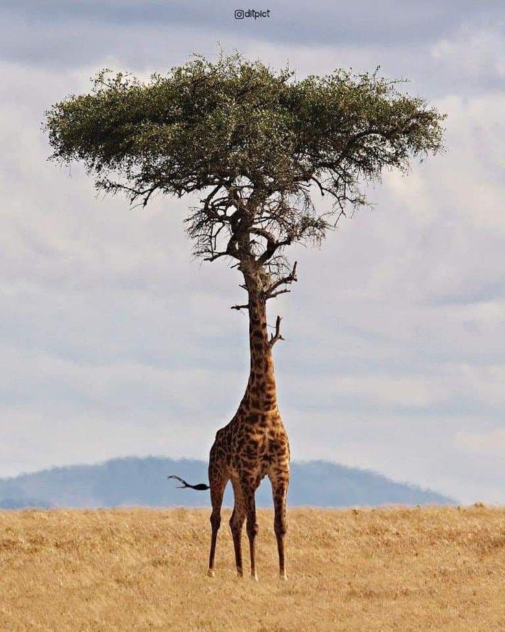 грызуны жираф на дереве картинки для кого языком