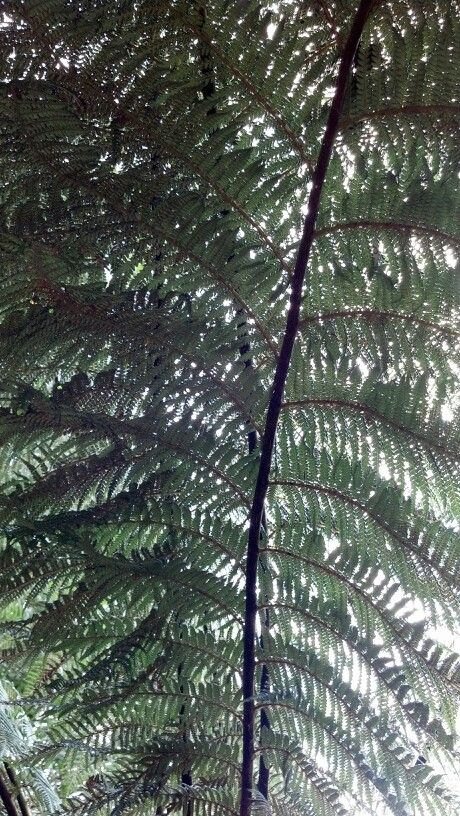 Tree fern. Pic by Tracey