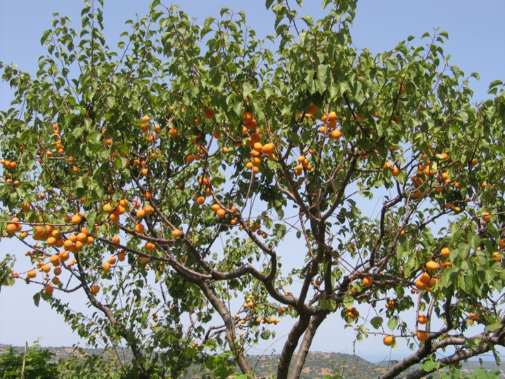 Lovely apricots from Sardinia
