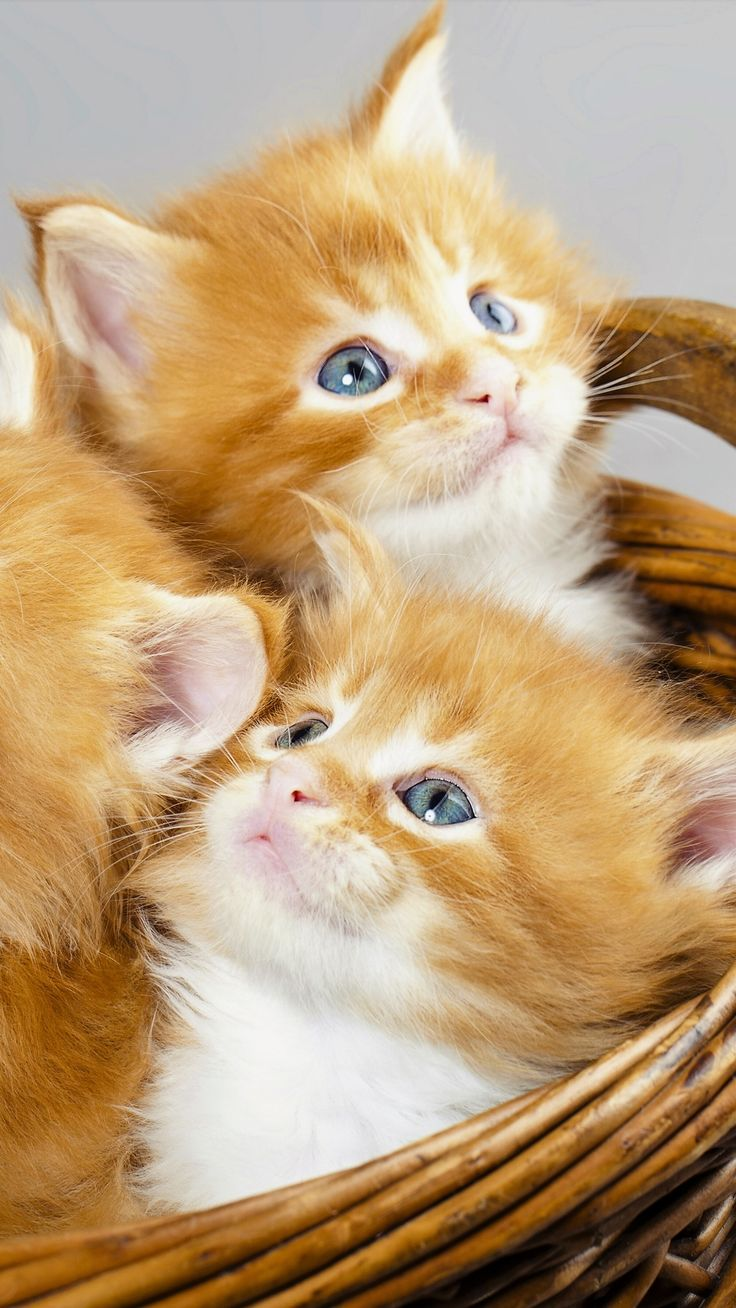 New Three Kittens in a Basket Animal Cat Cats animal baby animal basket cat cute kitten (1080x1920) Mobile Wallpaper 4