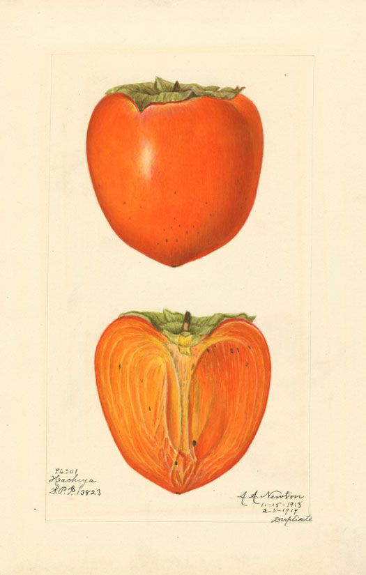 Japanese persimmon (variety Hachiya) - watercolor 1887 drawn by Amanda A. Newton