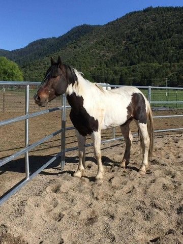 Check out Leroy's profile on AllPaws.com and help him get adopted! Leroy is an adorable Horse that needs a new home. https://www.allpaws.com/adopt-a-horse/draft-mix-paint-pinto/6266902?social_ref=pinterest
