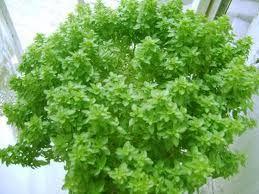 Fesleğen (Ocimum basilicum), ballıbabagiller (Lamiaceae) familyasından tek yıllık ve genellikle ılıman bölgelerde yetişen bir bitki türü. Yetişkin fesleğenlerin boyları genellikle 20 ile60 cm arasında değişir.  Renkleri açık yeşilden koyu yeşile kadar değişen yaprakları yumuşak olup, 1-5 cm arasında uzunlukta ve 1-3 cm arasında genişlikte olurlar. Soğuğa karşı çok duyarlı olan fesleğen bitkisi, en çok sıcak ve kuru ortamları sever. http://www.bitkiselyag.org/feslegen-ocimum-basilicum/