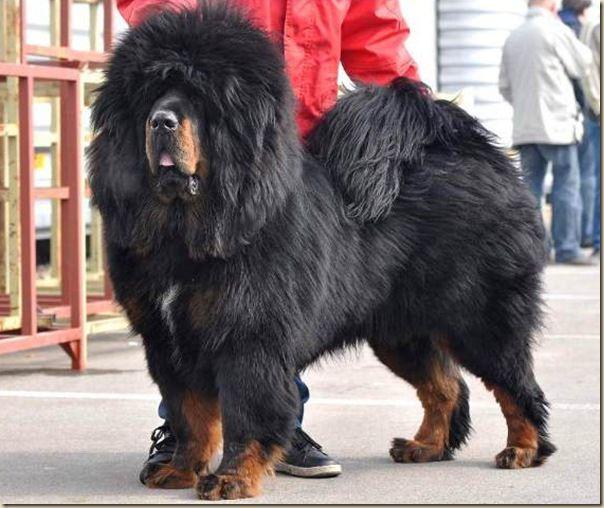 les 25 meilleures id es de la cat gorie dogue du tibet sur pinterest races de chiens tib tains. Black Bedroom Furniture Sets. Home Design Ideas
