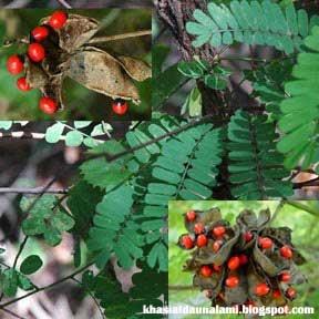 khasiat daun saga