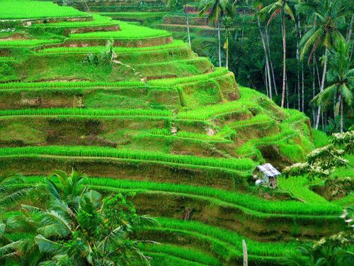 So green and unique: Bucketlist, Buckets Lists, Favorite Places, Green Terraces, Amazing Shots, Gorgeous Green, Amazing Places, Travel Buckets, Bali Indonesia