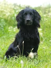 For my Scottish house I may have to have a lot of these to keep me company! Black working cocker spaniel - Google Search