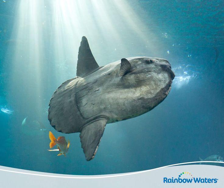 Θέλετε να δείτε από κοντά το ψάρι που μοιάζει με τεράστιο μαξιλάρι; Στο Oceanario της Λισαβόνας, το μεγαλύτερο της Ευρώπης, θα συναντήσετε αυτό και πολλά ακόμη πλάσματα του γλυκού και αλμυρού νερού! www.oceanario.pt/