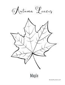 Foliage Maple Autumn Leaf Coloring Page Smokymountains Com
