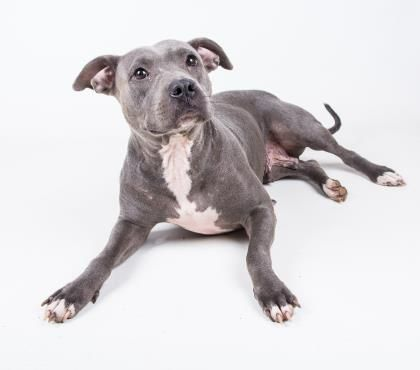 Aurora is an adoptable Pit Bull Terrier searching for a forever family near Decatur, GA. Use Petfinder to find adoptable pets in your area.