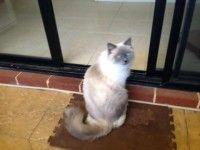 #Missing – Ragdoll #Cat – Innaloo #WA 6018  #lost #lostcat #missingcat #lostragdoll #Perth #WesternAustralia